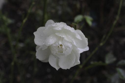 rose-i-december